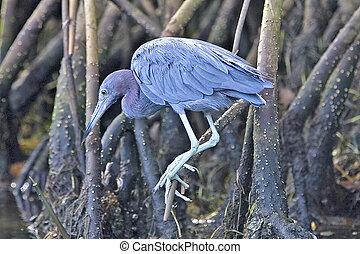 Little Blue Heron - Egretta caerulea - Florida