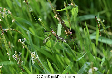 Tipul fuscipennis on stalks of grass