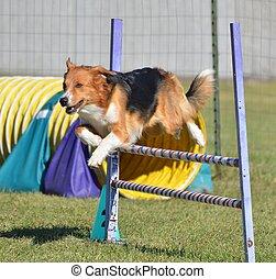 English Shepherd at a Dog Agility Trial - English Shepherd...
