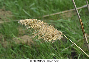 Dry panicle reed. Propagation by seed cane.