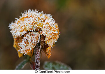 Small white ice crystals forming on dried old rose flower -...