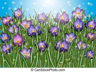Purple crocus flowers - Illustration of purple crocus...