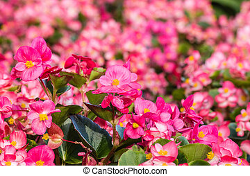 pink wax begonias in bloom