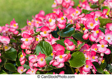 pink begonias in bloom - closeup of pink begonias in bloom