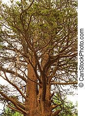 Big Tree in Inyo Park, California - Big Tree in Inyo...