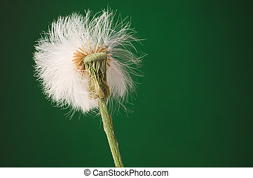 Half blown out white puffy dandelion seed head against dark...