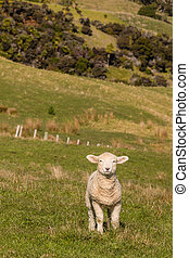 curious lamb standing in paddock - little lamb standing in...