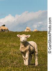 curious lamb standing on meadow - closeup of curious lamb...