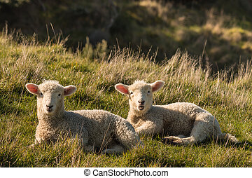 two lambs resting on meadow - closeup of two lambs resting...