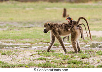 Young baby baboon on moms back - Young baby Chacma Baboon...