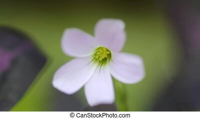 Macro of flower Oxalis triangularis - footage of Macro of...