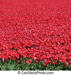 Spring tulip flower field red tulips flowers in Netherlands