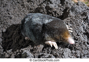 Mole in sand - A mole is crawling through the sand