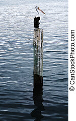 Pelican sits on a pylon post - A pelican sits on a pylon...