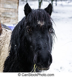 Horses on the farm, snowy weather, countryside life