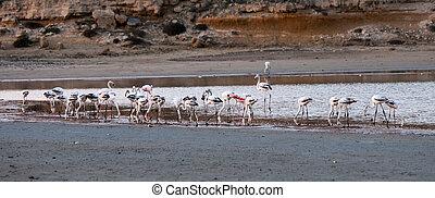 gyönyörű,  Flamingó, só, Tó,  larnaca, vad, ciprus, madarak