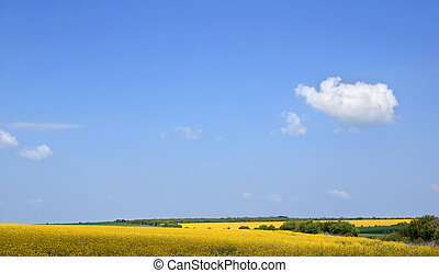 Field of colza plantation in north Bulgaria