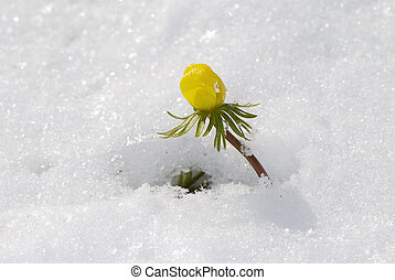Flower in the snow - Yellow winter aconite in the snow