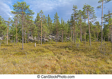 Swampy forest edge Cloudy summer day Karelia, Russia