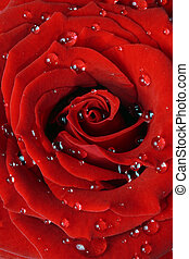 Red rose with dew drops - Beautiful red rose covered in...