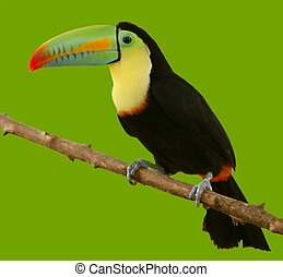 south american toucan colorful bird on green background