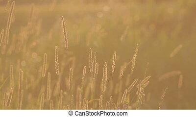 Grass Summer Sun Evening Wind Closeup - Backlit grass in a...