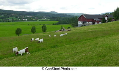 """goat and sheep herd view at norwegian countryside village,..."