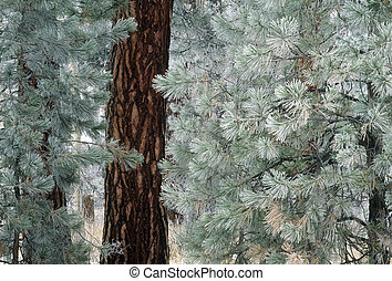 Frost on pine needles - Frost on needles of a ponderosa pine...