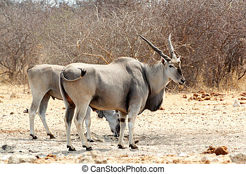 eland on waterhole - common eland on waterhole, Etosha...