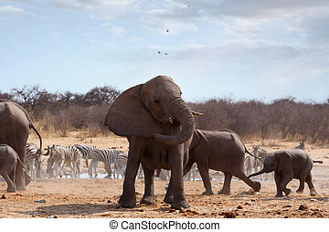 Angry Elephant in front of heard - A herd of African...