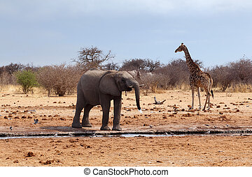 Elephant in front of waterhole - African elephants and...