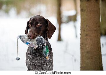 Puppy, breed Kurzhaar, a walk in the winter
