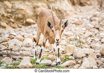 Young wild goat (Capra) in Middle East - Young wild goat...