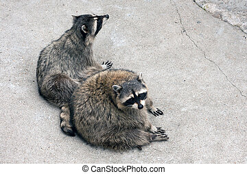 Pair of raccoons in captivity in the zoo
