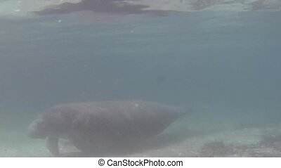 Florida Manatee - Seacow Manatee Swimming Underwater in...