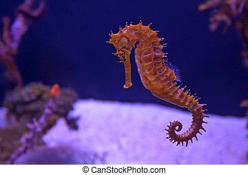 Closeup seahorse in aquarium - Closeup seahorse swimming in...