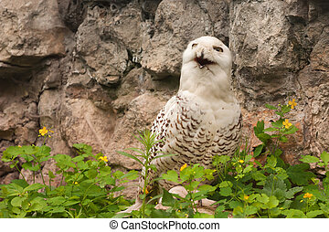 Snowy owl Bubo scandiacus is the embodiment of all positive...