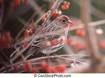 Perched House Finch - A house finch (Carpodacus mexicanus)...