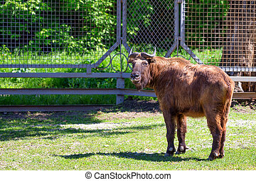 Takin Budorcas taxicolor in captivity - Mature takin...