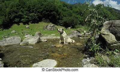 Dog on Mountain stream - On road to Svan village in Georgia...