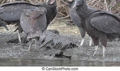 Vultures Feeding on Bird Carcass - Wake of Vultures feeding...
