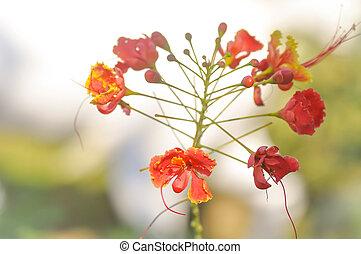 caesalpinia pulcherrima flower in the garden