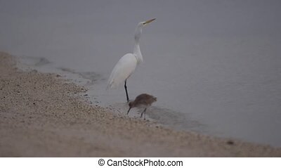 Egret Swallowed a Fish - Great White Egret Just Swallowed a...
