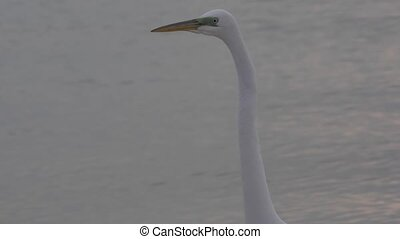 Great White Egret in the water - Great White Egret Slow zoom...