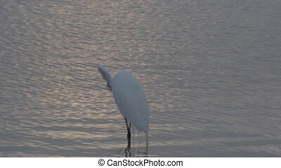 Egret and Heron Birds of Florida - Egret drops fish gets...