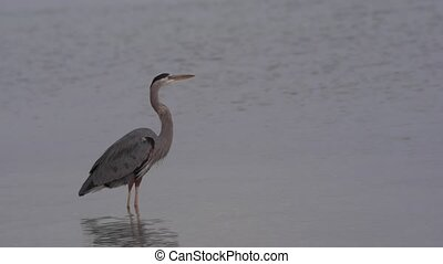 Great Blue Heron flying out of a frame - Great Blue Heron...