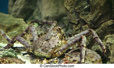 Giant Japanese spider crab - giant japanese crab between...