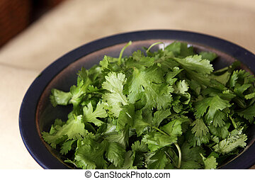 Cilantro in a Bowl - A bowl of fresh cilantro coriander...