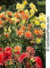 flor, jardim, coloridos, cima,  Dahlia, fim