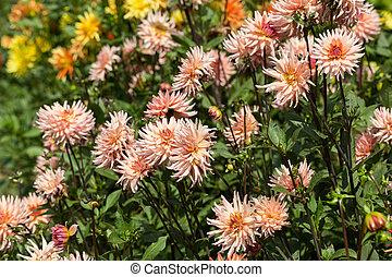 fim, cima, de, coloridos, Dahlia, flor, em, jardim,